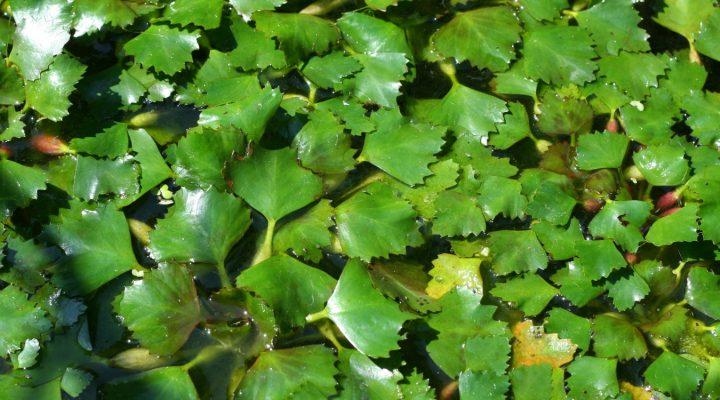 Kotewka orzech wodny (Trapa natans)