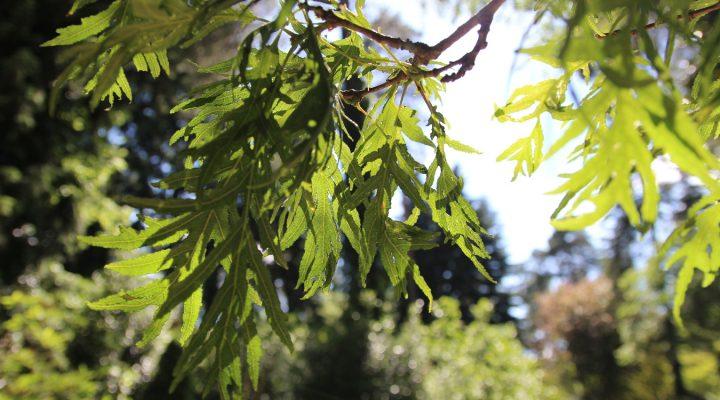 Dąb szypułkowy (Quercus robur) 'Pectinata'