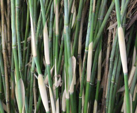 Bambus parasolowaty (Fargesia murielae) 'Simba'