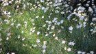 Czyściec lekarski (Stachys officinalis)