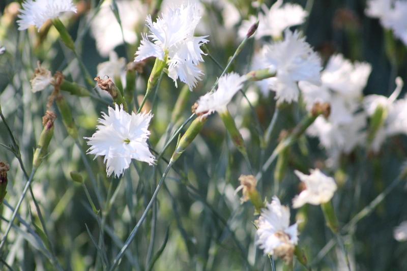 goździk siny Dianthus gratianopolitanus