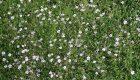 Macierzanka piaskowa (Thymus serphyllum)