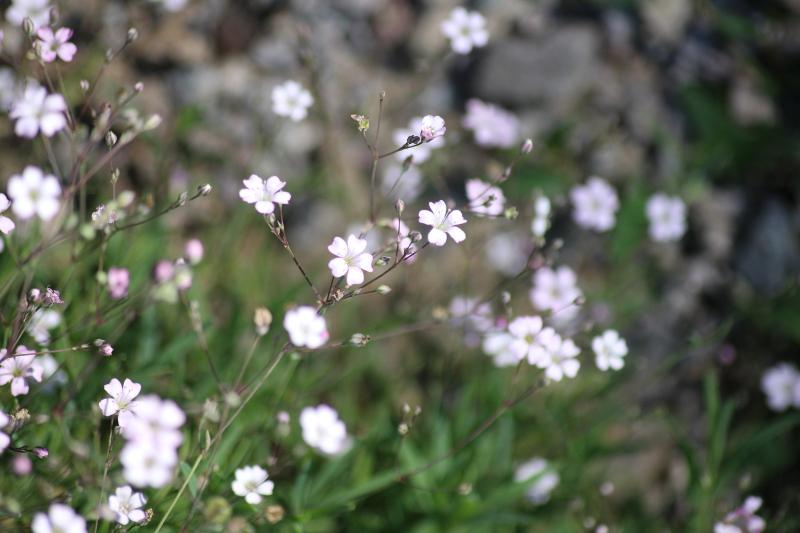 gipsówka rozesłana Gypsophila repens