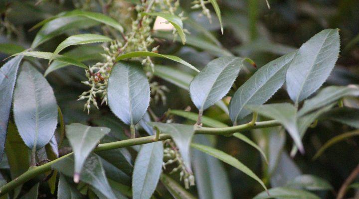 Kiścień wawrzynowy (Leucothoe fontanesiana)