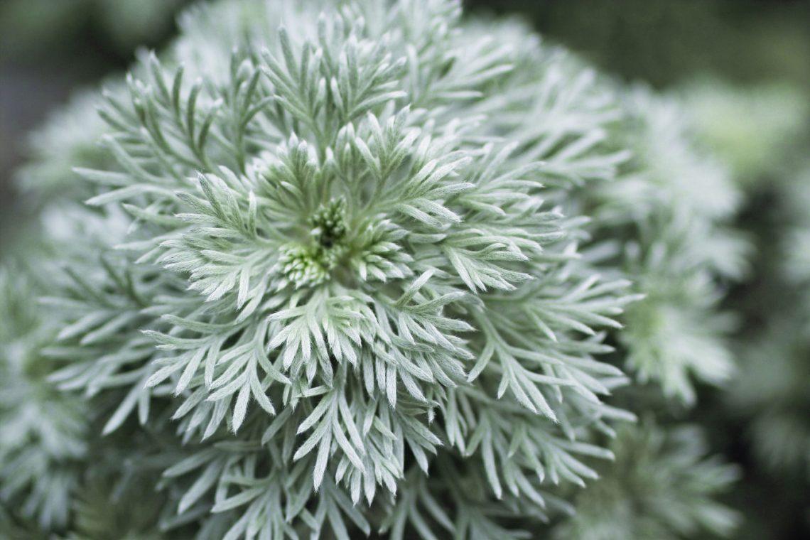 bylica Schmidta Artemisia schmidtiana