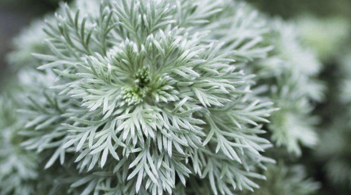 Bylica Schmidta (Artemisia schmidtiana)