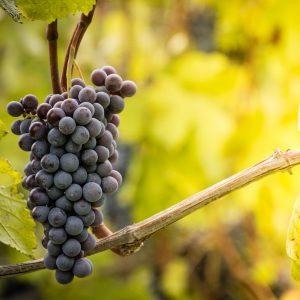 Winorośl w ogrodzie – jak ją uprawiać?