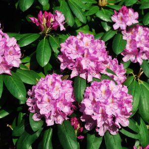 Gdzie i jak sadzić rododendrony?