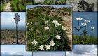 Bodziszek wielkopłatkowy (Geranium platypetalum)