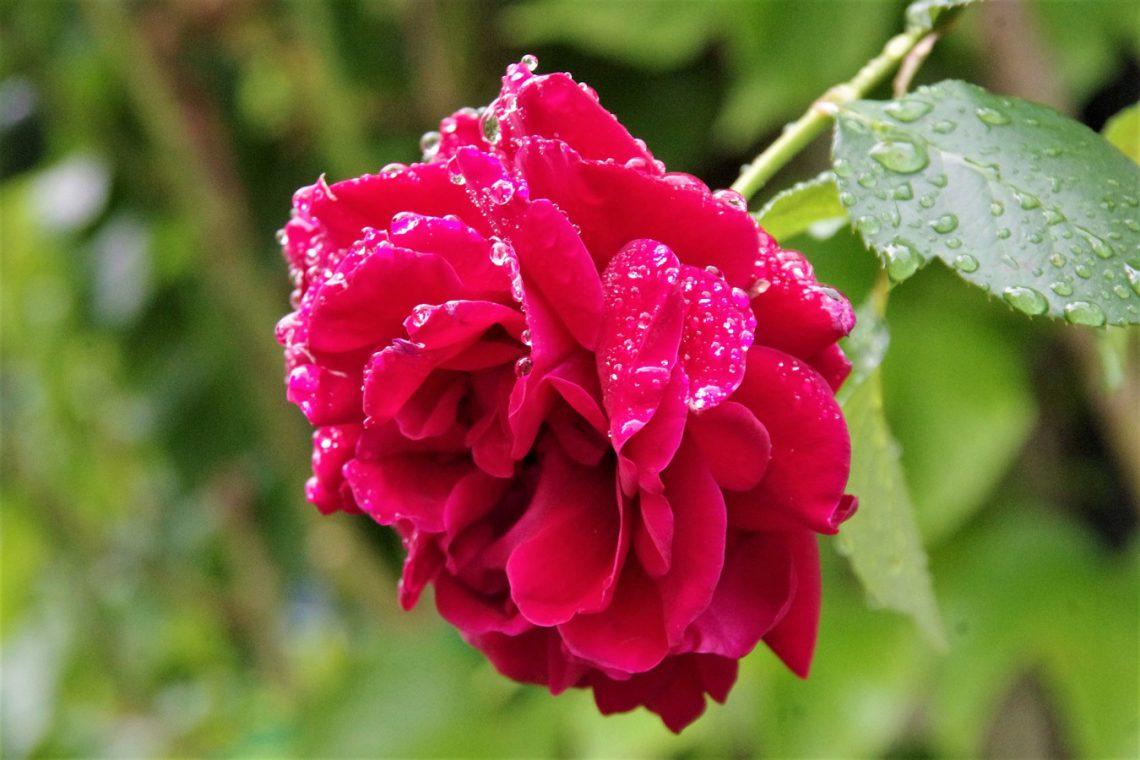 Róże z tzw. gołym korzeniem: jak sadzić, na co uważać