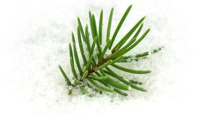 Jak zimą dbać o rośliny iglaste?