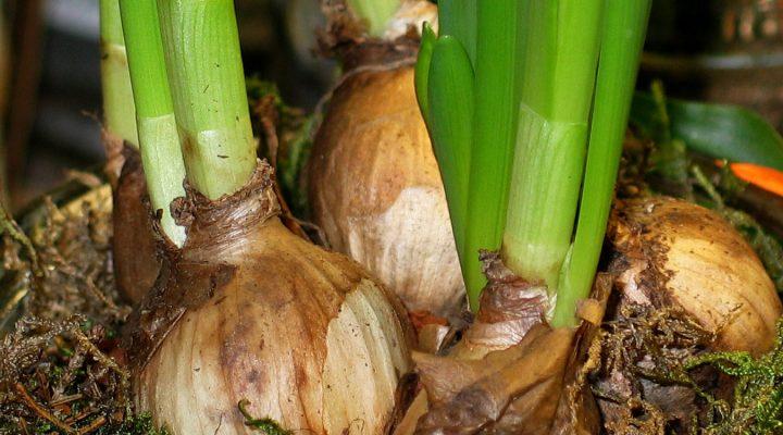 Pędzenie roślin cebulowych