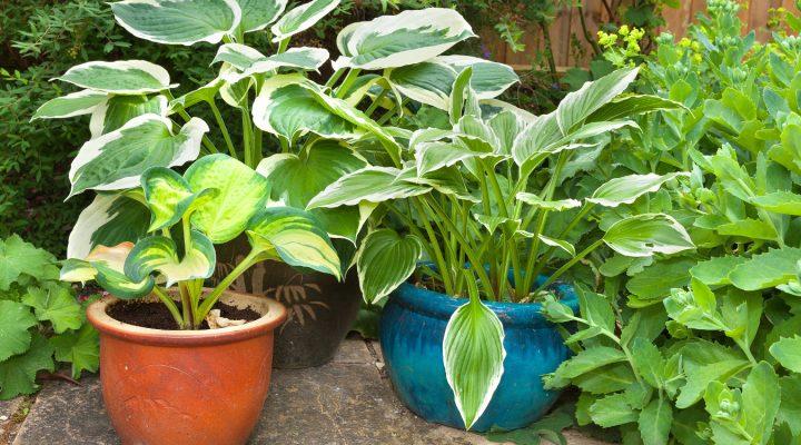 Funkie – uprawa, pielęgnacja, zastosowanie