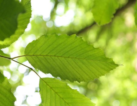 Grab pospolity (Carpinus betulus)