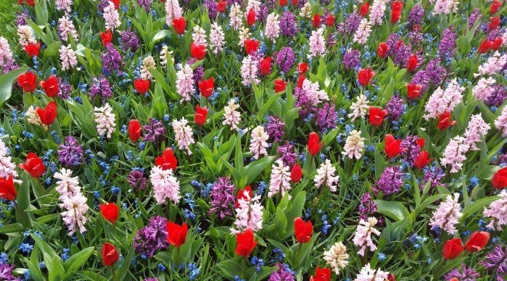 Quiz – wiosenne rośliny cebulowe