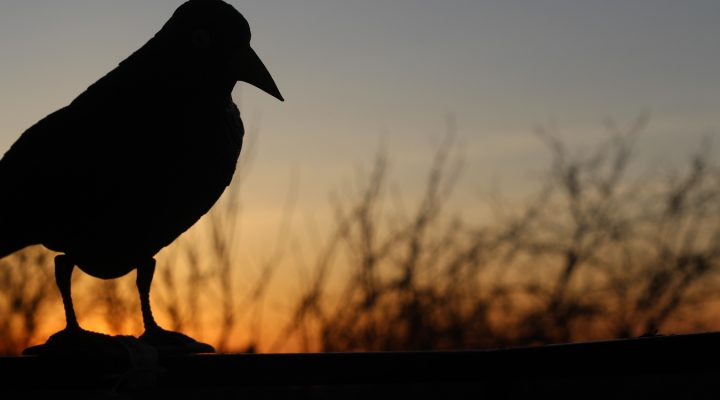 Ja, kruk – czyli jak odstraszyć szpaki