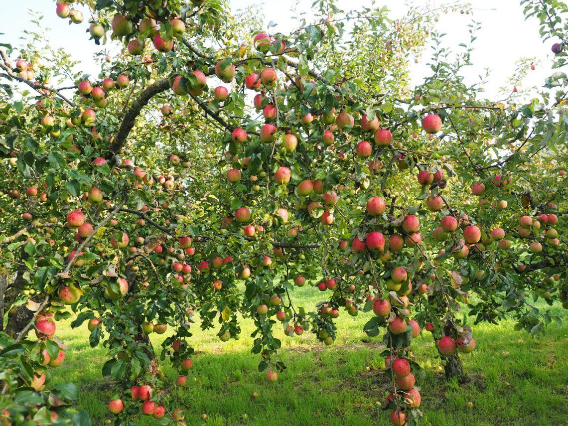 Szykują się rekordowe zbiory jabłek