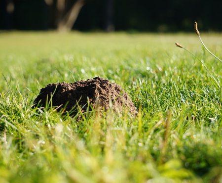 Walka ze szkodnikami ogrodu - pułapka na kreta